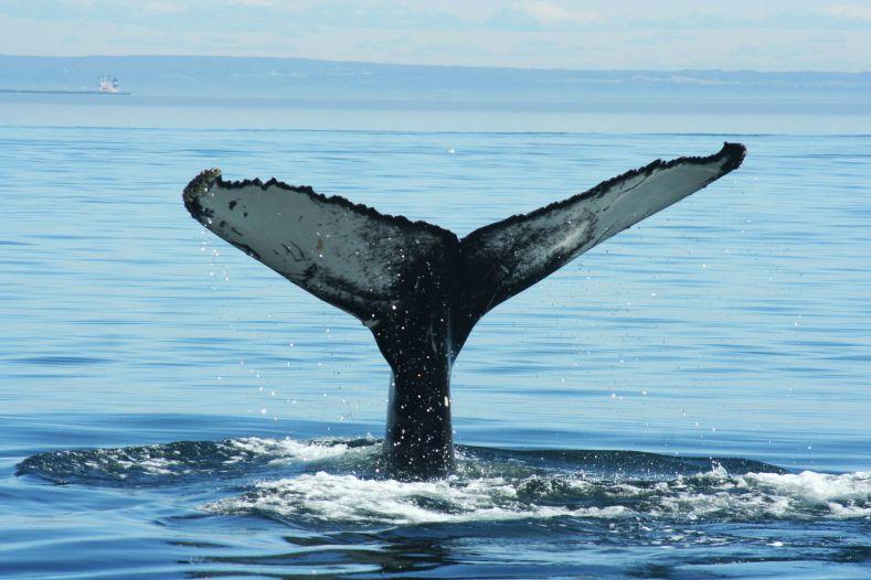 canada-summer-baleine