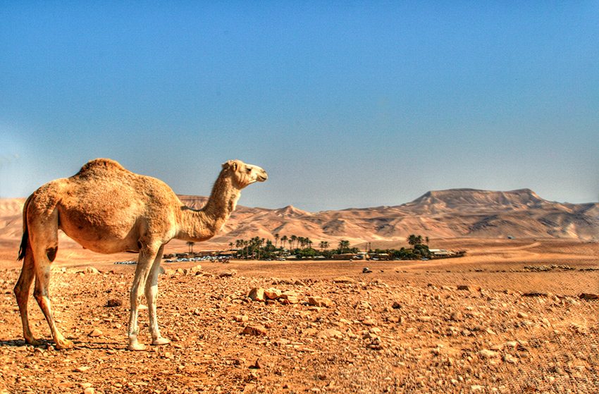 MY TRAVEL DREAMS X Kfar Hanokdim chameaux
